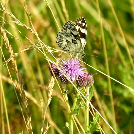 Creeping Thistle with Marbled White butterfly