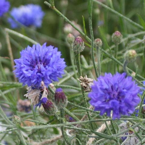 British Wild Flowers